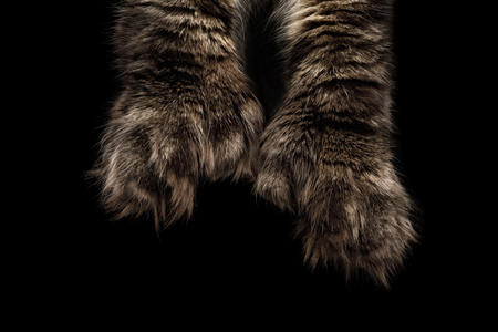 Maine Coons Huge polydactyl paws on Isolated Black Background Banco de Imagens