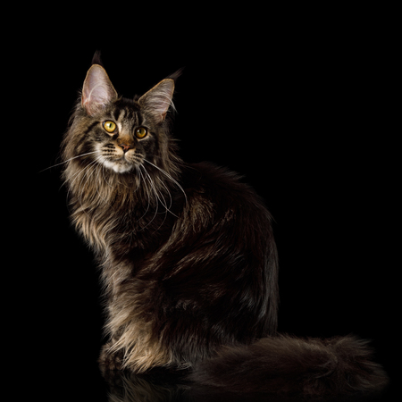 Huge Maine Coon Cat Sits on Isolated Black Background