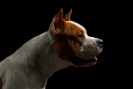 Portrait of White with Red American Staffordshire Terrier Dog, Isolated on Black Background, profile view Stock fotó