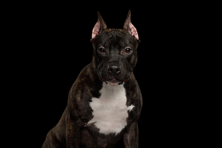 Portrait of Serious American Staffordshire Terrier Dog Gazing in camera Isolated on Black Background, front view