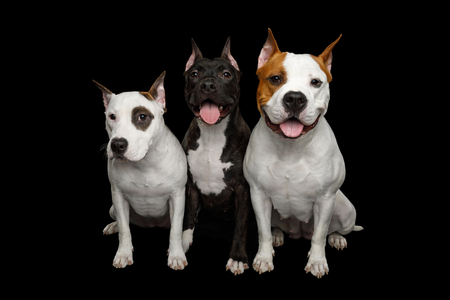 Three American Staffordshire Terrier Dogs Sitting together on Isolated Black Background, front view Фото со стока