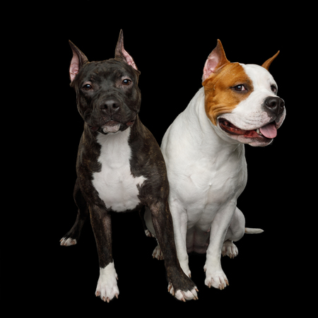 Two American Staffordshire Terrier Dogs Sitting together and touching paws on Isolated Black Background, front view Stock fotó
