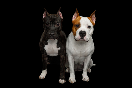 Two American Staffordshire Terrier Dogs Sitting together and Stare in camera on Isolated Black Background, front view