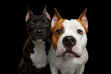 Portrait of Two American Staffordshire Terrier Dogs Stare in Camera on Isolated Black Background, front view