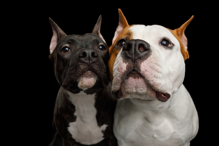 Close-up Portrait of Two Happy American Staffordshire Terrier Dogs sniff on Isolated Black Background, front view