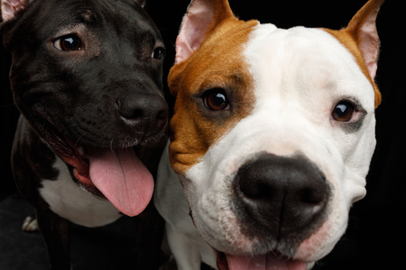 Close-up Portrait of Two Happy American Staffordshire Terrier Dogs Stare in Camera and smiling on Isolated Black Background, front view