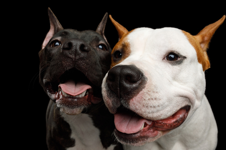 Portrait of Two Happy American Staffordshire Terrier Dogs Stare in Camera and smiling on Isolated Black Background, front view