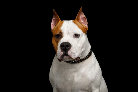 Portrait of Gazing White with Red American Staffordshire Terrier Dog Isolated on Black Background, front view