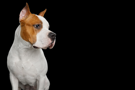 Portrait of White with Red American Staffordshire Terrier Dog, Looking at side, Isolated on Black Background, profile view Stock fotó