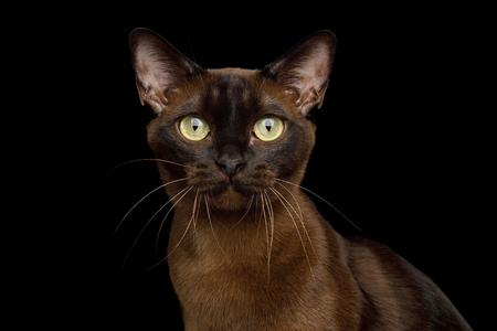 Portrait of Brown Burmese Cat with Chocolate fur color and yellow eyes Gazing on isolated black background