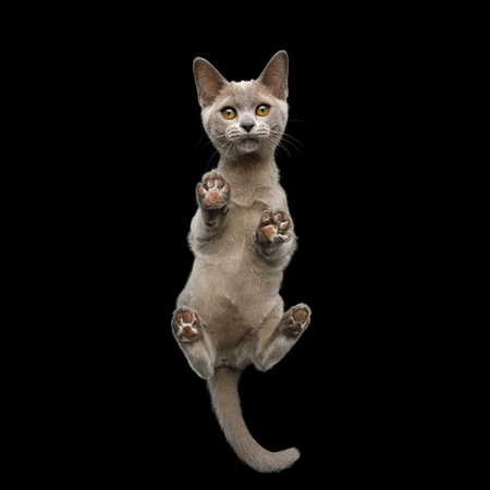 Bottom view of Burmese Kitten Standing with Cute paw pads and Curious Face Gazing on isolated black background Banco de Imagens