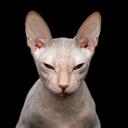 Closeup Portrait of Squints Sphynx Cat Isolated on Black Background Stok Fotoğraf
