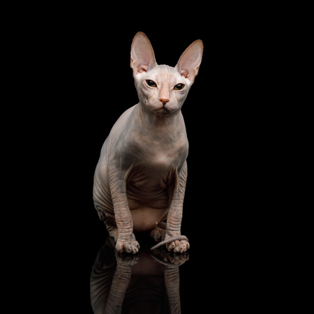 Pink Sphynx Cat Sitting, Isolated on Black Background, front view