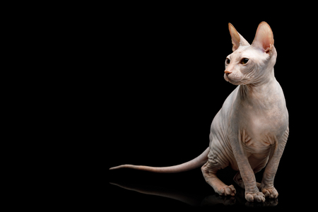Cute Sphynx Cat Sitting, looking at side, Isolated on Black Background, front view Stock fotó