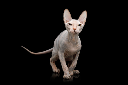 Sphynx Cat Hunting Looking up Isolated on Black Background