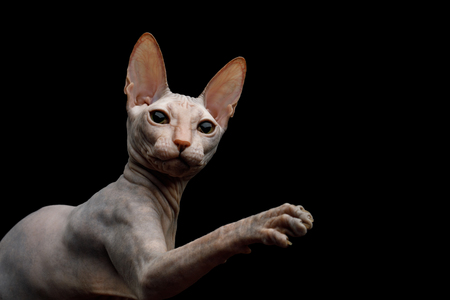 Closeup Playful Sphynx Cat Raising paw and looking up Isolated on Black Background, profile view