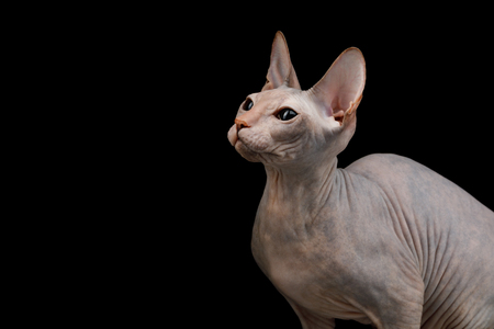 Portrait of Sphynx Cat Isolated on Black Background, profile view Stock Photo