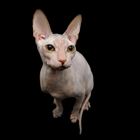 Cute Sphynx Cat Sitting, looking up, Isolated on Black Background, top view Stockfoto