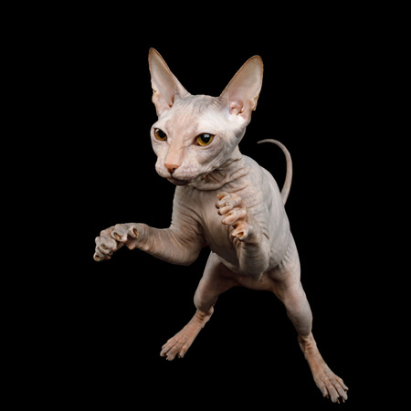 Sphynx Cat Hunting Raising up paws, catches prey, Isolated on Black Background, top view