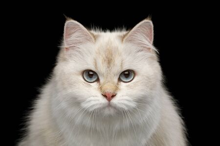Portrait of British Cat, Color-point fur and Blue eyes Gazing on Isolated Black Background, front view