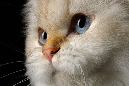Close-up Portrait of British Cat, Color-point fur and Blue eyes on Isolated Black Background