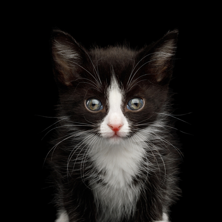 Portrait of Black with white Kitten with beautiful eyes on isolated background, front view
