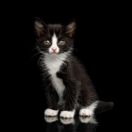 Black with white Kitten with beautiful eyes Sitting on isolated background, front view