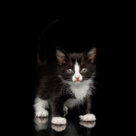 Black with white Kitten with beautiful eyes Looking playful on isolated background, front view