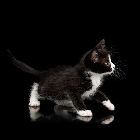 Black with white Kitten with beautiful eyes Looking playful on isolated background, side view