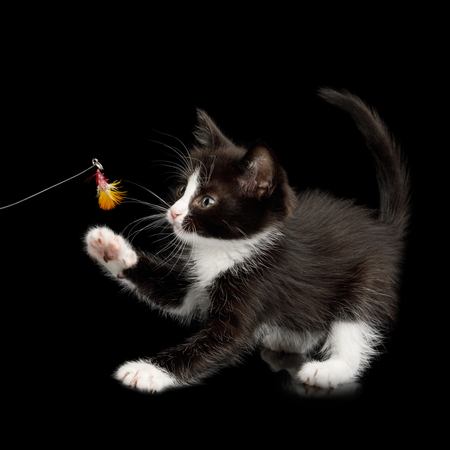 Black with white Kitten Play with toy on isolated background, side view
