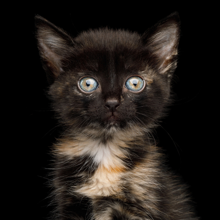Portrait of Cute Tortoise Kitten with beautiful eyes on isolated background, Front view