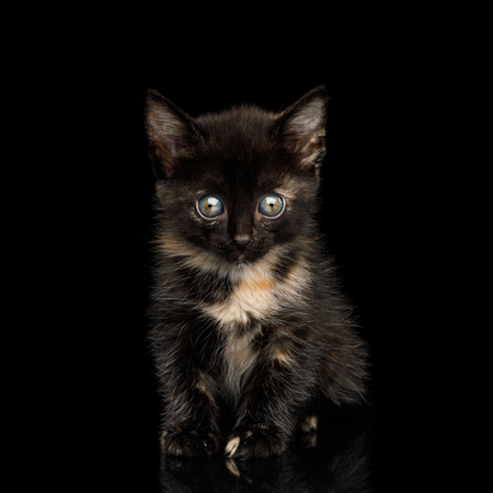 Cute Tortoise Kitten Sitting on isolated background, Front view