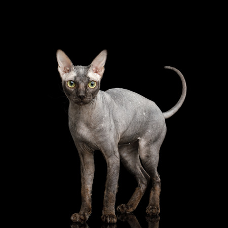 Sphynx Cat Standing and Looking alert Isolated on Black Background, front view