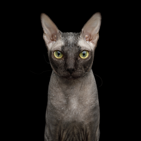 Portrait of Sphynx Cat, Curious Stare in Camera Isolated on Black Background, front view
