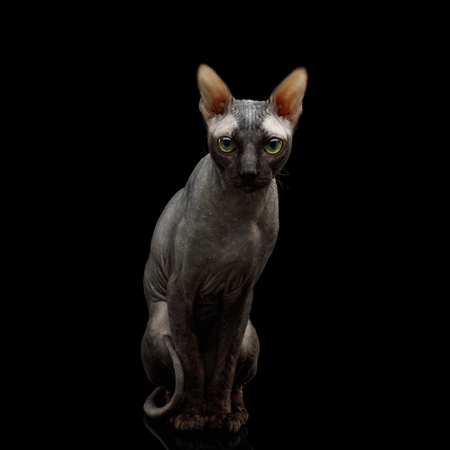 Adorable Sphynx Cat Sitting Curious Looks Isolated on Black Background, Front view