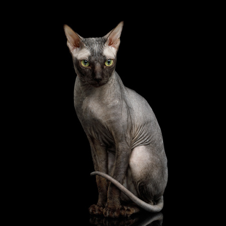 Sphynx Cat Sitting Curious Looks Isolated on Black Background, Front view