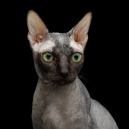 Portrait of Sphynx Cat Curious Stare Isolated on Black Background