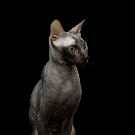 Portrait of Sphynx Cat, Curious Stare Isolated on Black Background, profile view Stock fotó