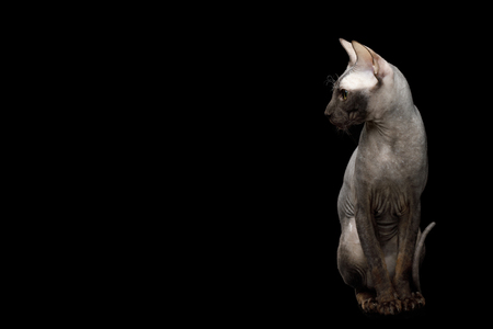 Sphynx Cat Sitting Curious Looks Isolated on Black Background, side view