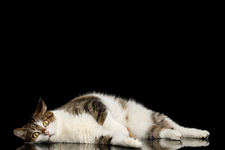 Lazy Cat Lying on Isolated Black Background with reflection