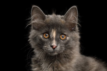 Portrait of Cute Kurilian Bobtail Kitten with tortoise fur Isolated Black Background Banque d'images - 101362382