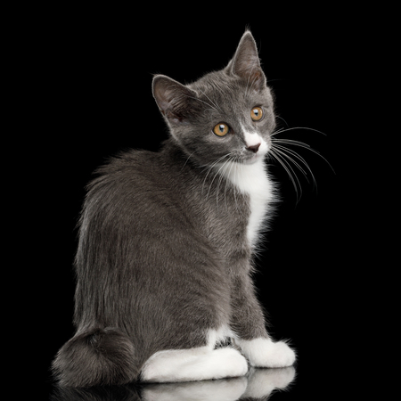 Cute Kurilian Bobtail Kitten with white paws Sitting and Curious Looking back, Isolated Black Background Banque d'images - 101362389