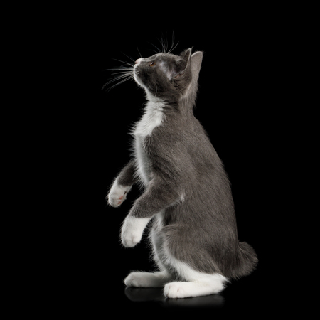 Playful Kurilian Bobtail Kitten with white paws Rearing up and Curious Looking for, without tail, Isolated Black Background Stock fotó