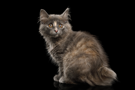 Cute Kurilian Bobtail Kitten with tortoise fur Sitting Isolated Black Background Banque d'images - 101362412