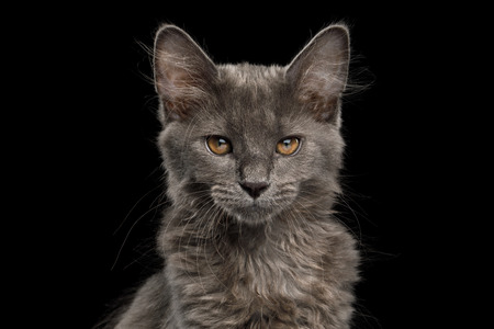 Portrait of Little Kurilian Bobtail Kitten with grey fur Stare in Camera Isolated Black Background Banque d'images - 101362413