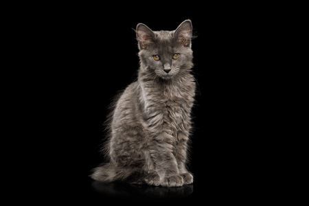 Cute Kurilian Bobtail Kitten with grey fur Sitting Isolated Black Background