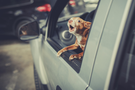Little Dog Looking out the car window at parking area and barking, vintage filter effect Foto de archivo - 101750222