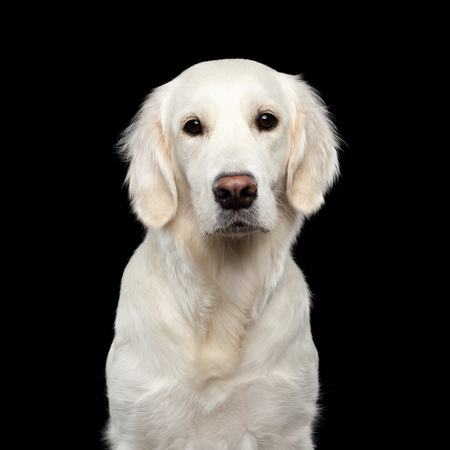 Adorable Portrait of Golden Retriever Dog Looking in Camera, Isolated on Black Backgrond Stock Photo