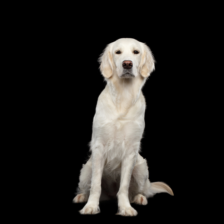 Golden Retriever Dog Sitting and Gazing, Isolated on Black Backgrond, front view