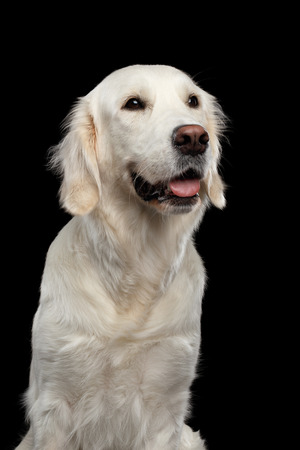 Adorable Portrait of Golden Retriever Dog Looking up, Isolated on Black Backgrond